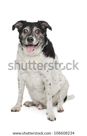 mixed breed dog in front of a white background - stock photo