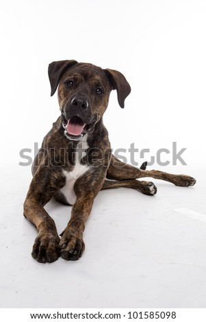 mixed breed dog isolated on a white background - stock photo