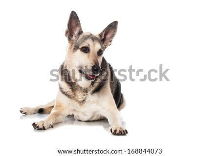 Mixed breed dog isolated on white