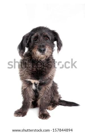 Mixed breed dog isolated on white background - stock photo