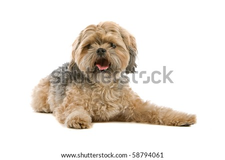 mixed breed dog isolated on white. half maltese, half chi-tzu