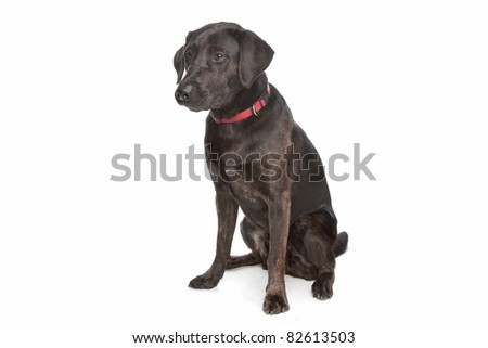 mixed breed dog, Labrador and rottweiler, in front of a white background