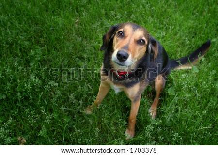Mixed breed dog looking at camera. - stock photo