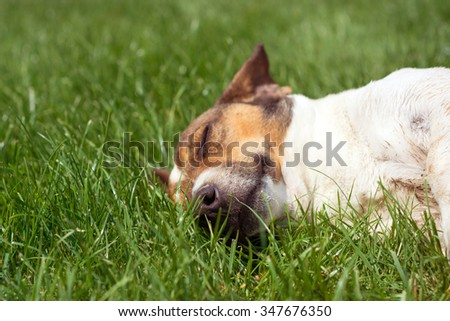 Mixed breed dog lying in the grass