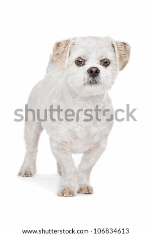 Mixed breed dog.Maltese, Shih Tzu