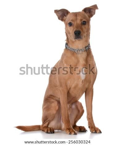 mixed breed dog sitting on white background - stock photo