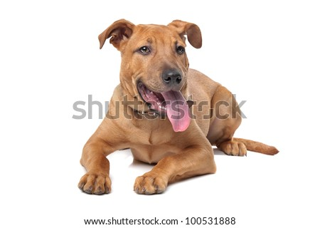 mixed breed dog( Stafford Terrier) in front of a white background