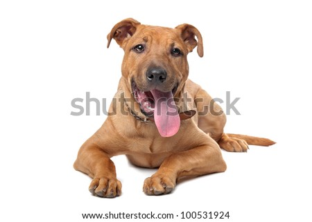 mixed breed dog( Stafford Terrier) in front of a white background - stock photo
