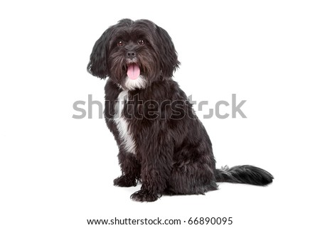 Mixed breed dog Tibetan terrier and Shih tzu, isolated on a white background - stock photo