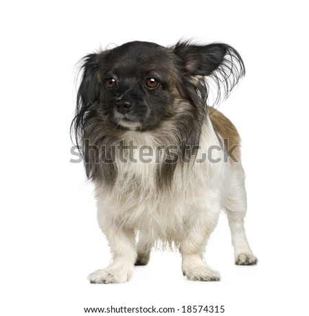 Mixed-Breed Dog with a papillon in front of a white background