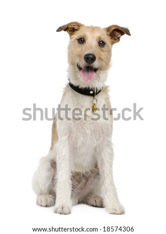 Mixed-Breed Dog with a terrier (2 years) in front of a white background - stock photo