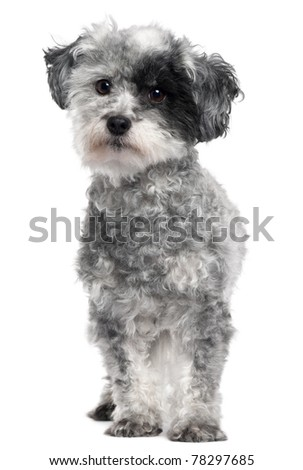 Mixed-breed dog, 5 years old, standing in front of white background - stock photo