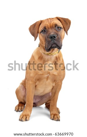 mixed breed Dogue de Bordeaux puppy isolated on white - stock photo