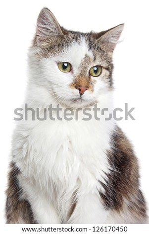 Mixed breed Domestic cat portrait, isolated on a white background - stock photo