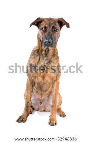 mixed breed(Dutch shepherd/Belgian shepherd) in front of a white background