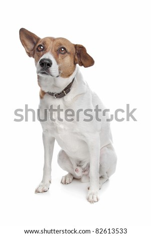 mixed breed jack russel terrier dog on a white background