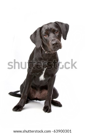 mixed breed lab cross - one year old isolated on white background