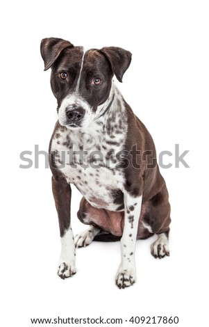 Mixed breed medium size dog with black and white fur and spots sitting on white background - stock photo