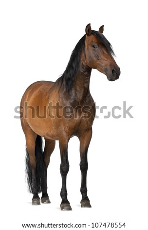 Mixed breed of Spanish and Arabian horse, 8 years old, portrait