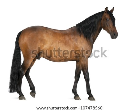 Mixed breed of Spanish and Arabian horse, 8 years old, standing against white background - stock photo