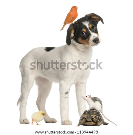 Mixed breed puppy, canary, chick, turtle and rat against white background - stock photo