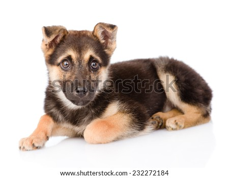 mixed breed puppy dog looking at camera. isolated on white background - stock photo