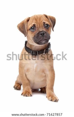 mixed breed puppy, half pug, half cavalier king charles spaniel - stock photo
