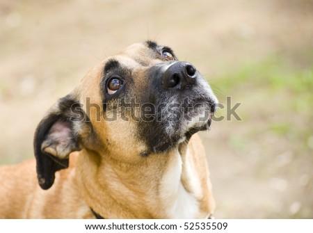 Mixed-breed senior dog - stock photo