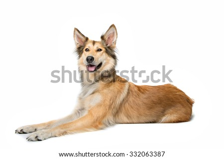 mixed breed shepherd dog lying in front of a white background