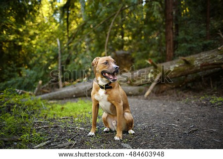 Mixed breed shepherd rescue dog outdoors on a sunny day hiking in the woods in a park