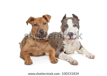 mixed breed stafford and American Staff in front of a white background