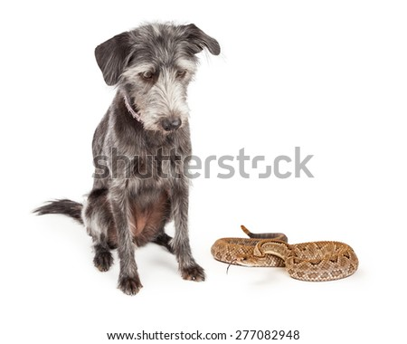 Mixed breed terrier dog looking down at a large rattlesnake on the ground. - stock photo