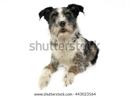 Mixed breed wired hair dog in a white studio