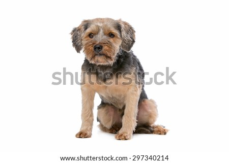 mixed breed Yorkshire Terrier in front of a white background - stock photo