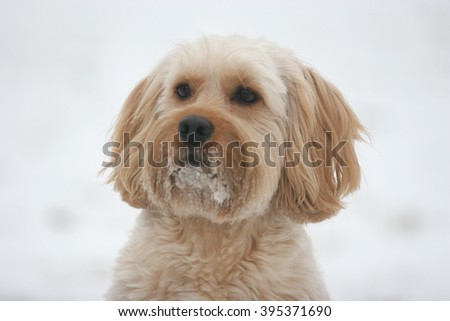 Mixed Cocker Spaniel dog portrait  in outdoors
