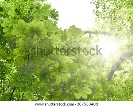 Mixed forest with chestnut tree and beech tree in the sun. Low angle view to the tree tops and bright sunbeam with smooth light. Nature background in springtime with fresh green leaves and copy space. - stock photo
