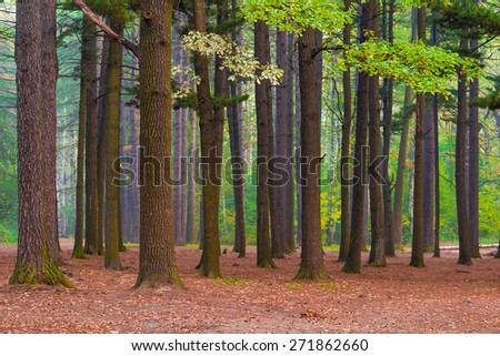 mixed forest with old tall trees in northern latitudes - stock photo