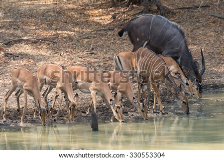 Mixed group of Impala (Aepyceros melampus) and (Nyala (Tragelaphus angasii) drinking together at a waterhole - stock photo