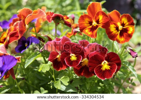 Mixed organic colorful pansy viola flowers in garden, selective focus - stock photo