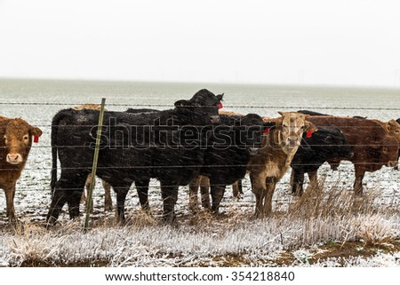 Mixed rain, snow and sleet streaks and hazy background emphasizing weather conditions on cattle gathered by barbed wire fence in Texas Panhandle. - stock photo