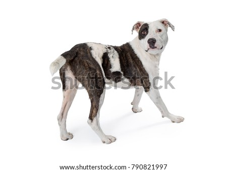 Mixed terrier breed dog walking away looking back. Isolated on white.