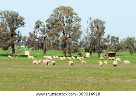 mob of crossbreed ewes grazing in pasture of grass