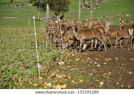 mob of red deer, Cervus elephus, with their winter feed of turnips on a farm in Westland, New Zealand