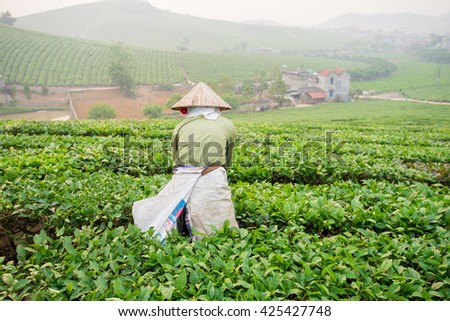 Moc Chau, Son La, Vietnam - Apr 17, 2016: The farmers are harvesting tea. the fresh tea leaves are picked carefully and will be processed into dried tea serving domestic needs and export to the world.