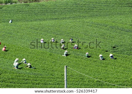 Moc Chau, Son La, Vietnam - Nov 13, 2016: The farmers are harvesting tea. the fresh tea leaves are picked carefully and will be processed into dried tea serving domestic needs and export to the world.