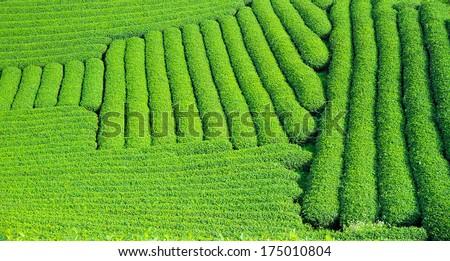 Moc Chau tea hill, Moc Chau village, Son La province, Vietnam - stock photo