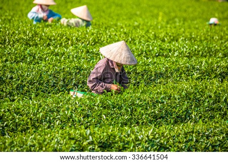 MocChau Highland, Son la Province, Vietnam Otc 25, 2015: Farmers collecting tea leaves on terrace green tea fileds in Moc Chau Highland. Tea is tradition drink in Vietnam, china, japan, korea, etc...