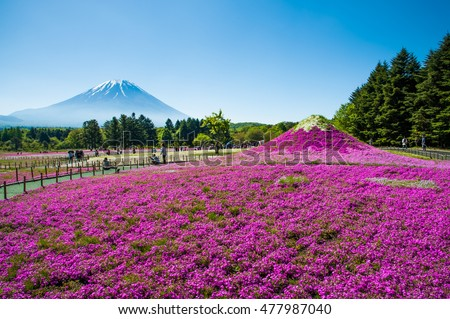 Mock up Mt.Fuji with meadow of Phlox Subulata flowers at Shibazakura festival in Yamanashi, Japan.