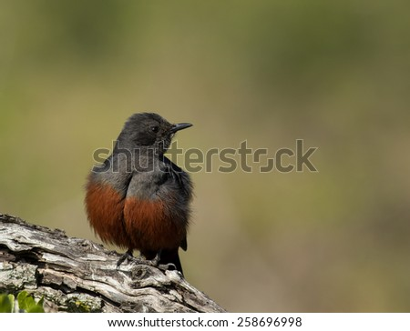 Mocking Cliff Chat - stock photo