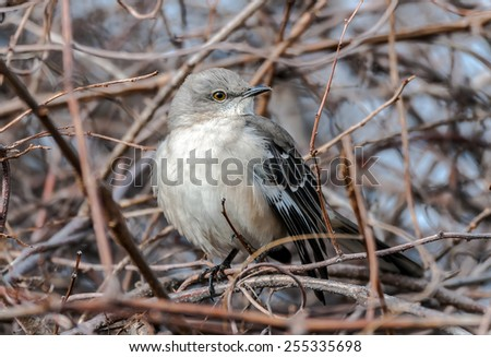 Mockingbird on a branch in a bush during Winter in Maryland - stock photo
